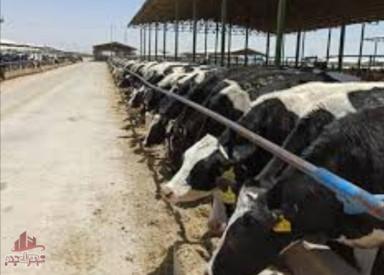 28 هکتار باغ پسته و گاو داری (شیری و گوشتی)